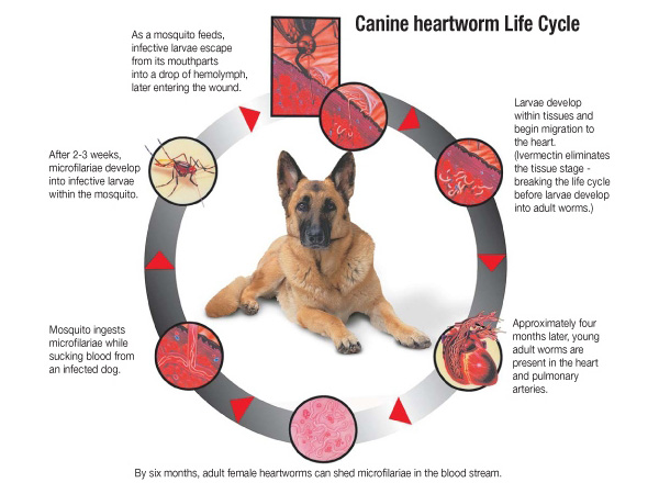 Heartworm Prevention Pet Health Shakespeare Veterinary Hospital